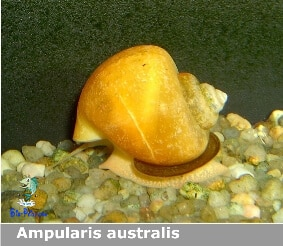 Ampularis australis