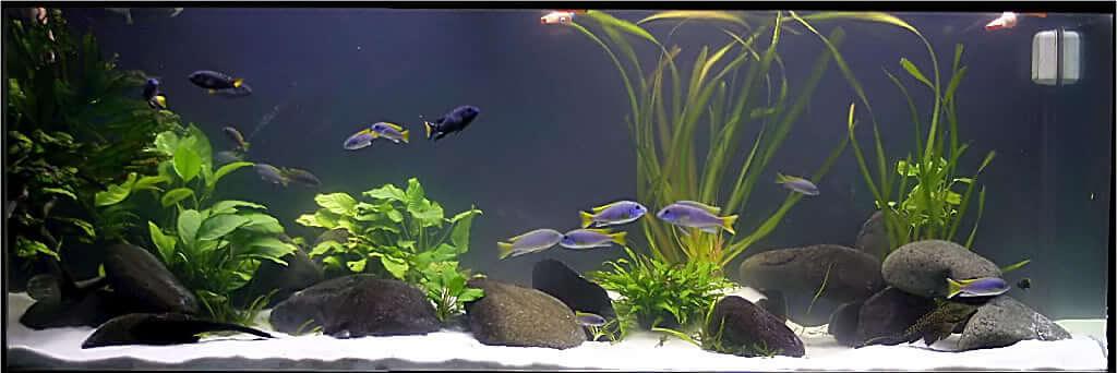 aquario Biótipo para Aulonocaras