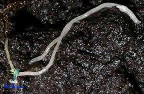 Enchytraeus albidus micro-vermes