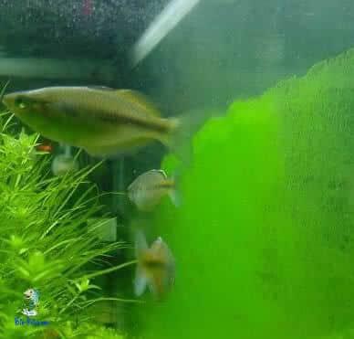algas Green dust Algae (GDA)