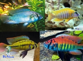 Haplochromis incubador bocal