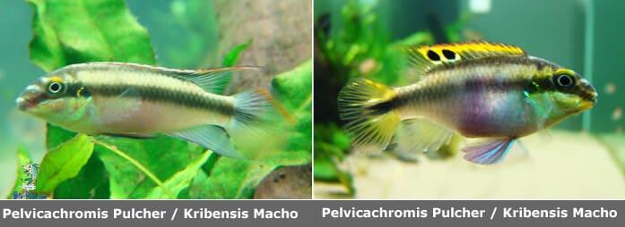 Pelvicachromis Pulcher Krivensis Macho femea