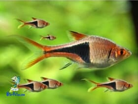 Rasbora heteromorpha - Rasbora Arlequim