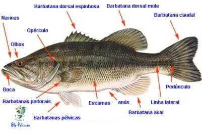 Noções de anatomia dos peixes, anatomia dos peixes