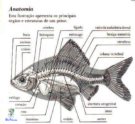 Noções de anatomia interna dos peixes, anatomia dos peixes