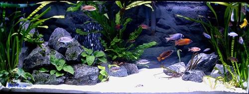 aquário para os labidochromis caeruleus