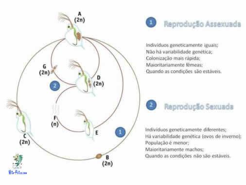ciclo de reprodução da dáfnias
