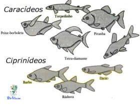 reproducao dos ciprinideos caracideos