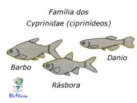 reprodução dos Ciprinídeos