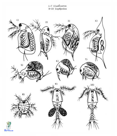 cladoceros clopepodos, Dáfnias