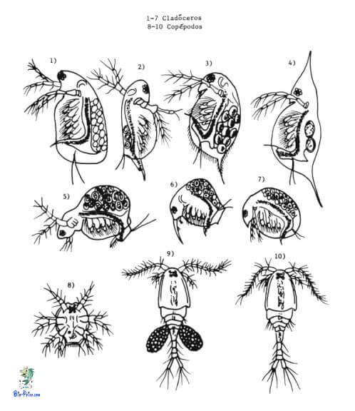 alimento vivo cladoceros clopepodos, cladoceros clopepodos, Dáfnias