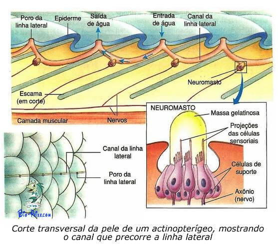 Noções de anatomia dos peixes