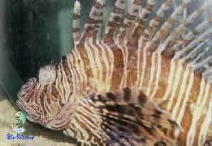 Olho vidrado, Dactylogyrus ou Gyrodactylus