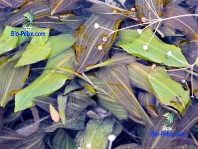 potamogeton-coloratus