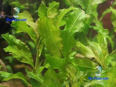 planta aquario potamogeton lucens
