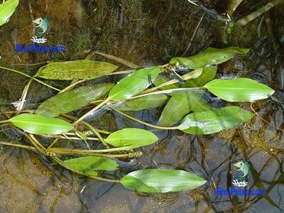 planta aquario potamogeton natans