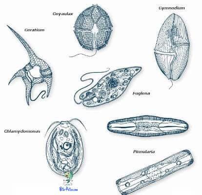protozoários Infusórios aquáticos