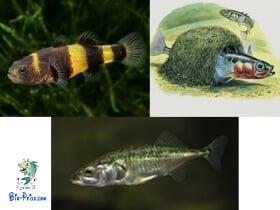reprodução do Brachygobius Gasterosteus aculeatus