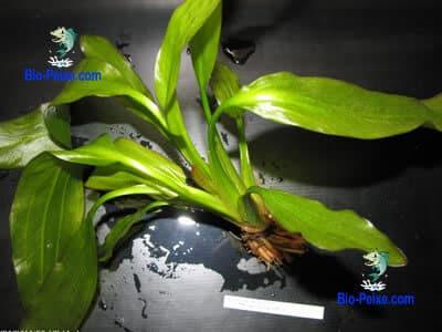 planta aquario Echinodorus argentinensis