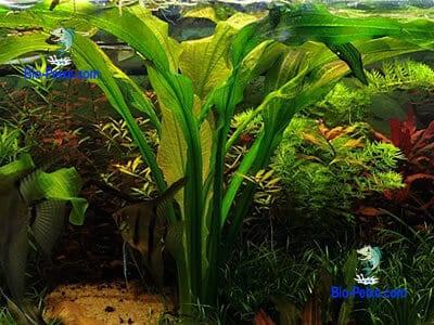 planta aquario Echinodorus berteroi