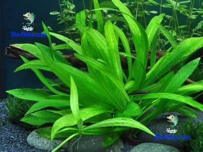 planta aquario Echinodorus