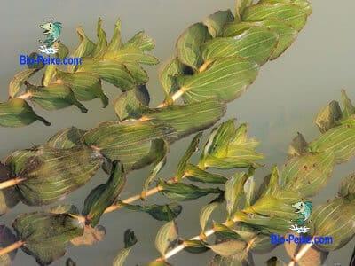 planta aquario Potamogeton perfoliatus