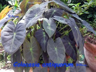 Colocasia-antiquorum-plantas aquáticas