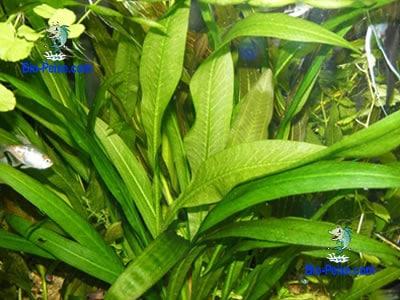 Echinodorus-grisebachii