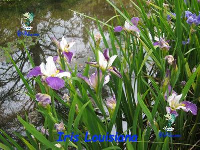 Iris-Louisiana-plantas aquáticas