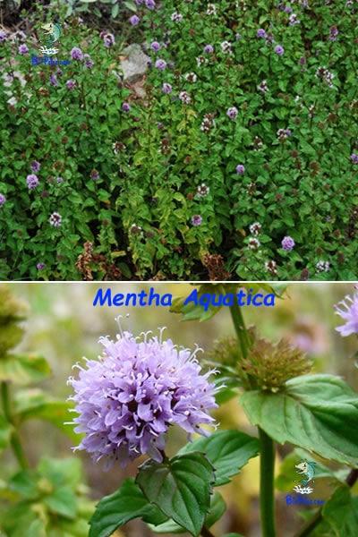 Mentha-aquatica-plantas aquáticas