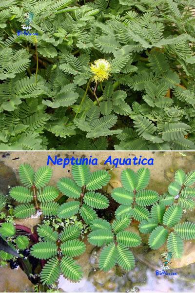 Neptunia-Aquatica-plantas aquáticas