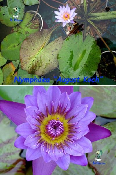 Nymphaea-August-Koch-plantas aquáticas