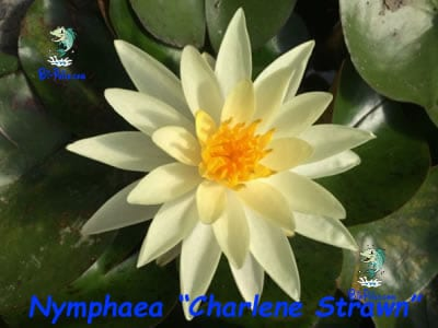 Nymphaea-Charlene-Strawn-plantas aquáticas