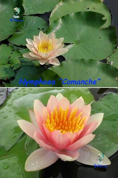 Nymphaea-Comanche-plantas aquáticas