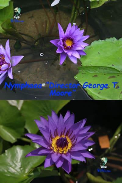 Nymphaea-Director-George-plantas aquáticas