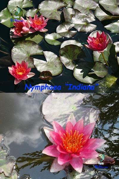 Nymphaea-Indiana-plantas aquáticas