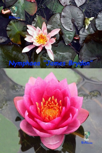 Nymphaea-James-Brydon-plantas aquáticas