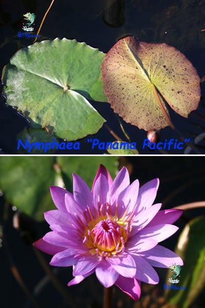 Nymphaea-Panama-Pacific-plantas aquáticas