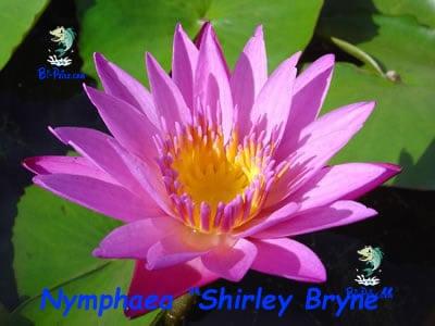 Nymphaea-Shirley-Bryne-plantas aquáticas