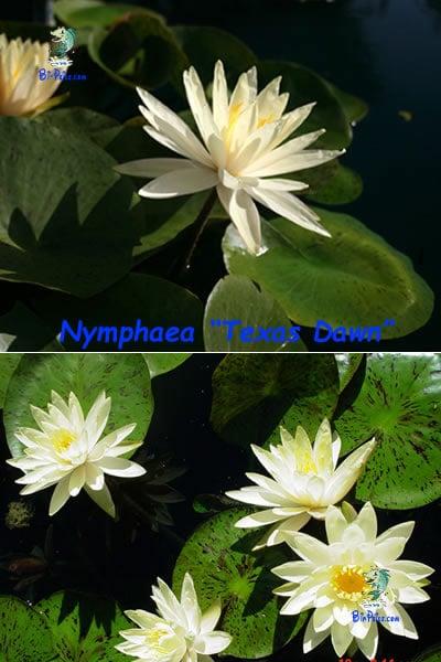 Nymphaea-Texas-Dawn-plantas aquáticas