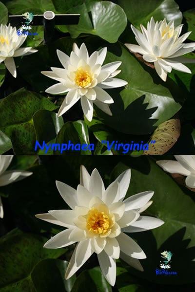Nymphaea-Virginia-plantas aquáticas