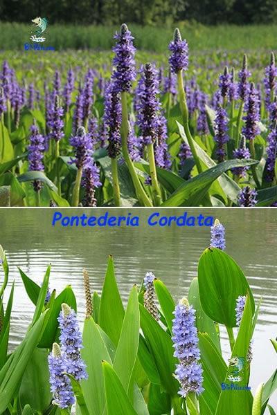 Pontederia-Cordata-plantas aquáticas