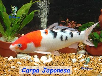 carpa-japonesa lago