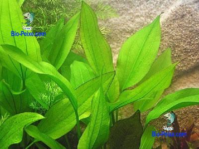 echinodorus-subalatus