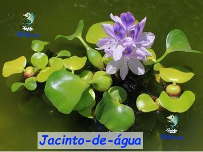 jacinto-de-agua lago