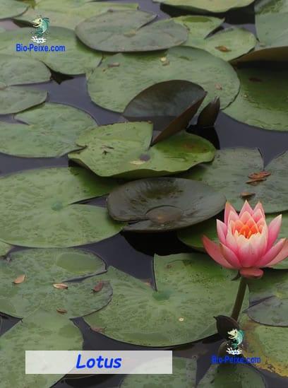 lotus lago