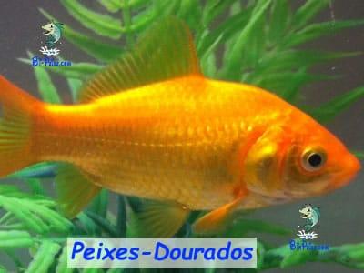 peixes-dourados lago