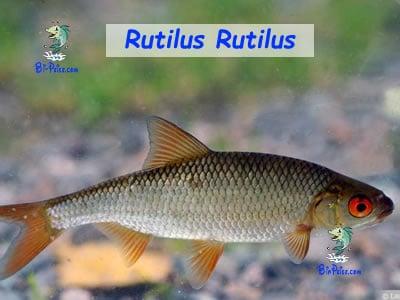 rutilus-rutilus lago