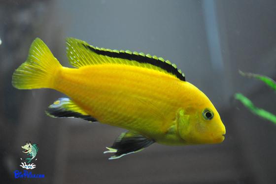 O biotopo dos Labidochromis caeruleus