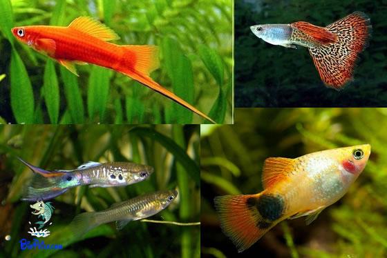 A reprodução dos peixes Vivíparos (Poecilídeos)